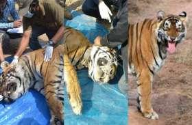 अलविदा 2018 : इस साल हमने खो दिए 3 बाघ, शिकार से बंद हुई बाघों की दहाड़