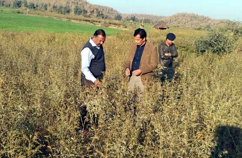 लगातार बढ़ रही ठंड और पाला के बीच जिले में अब फसलों पर असर