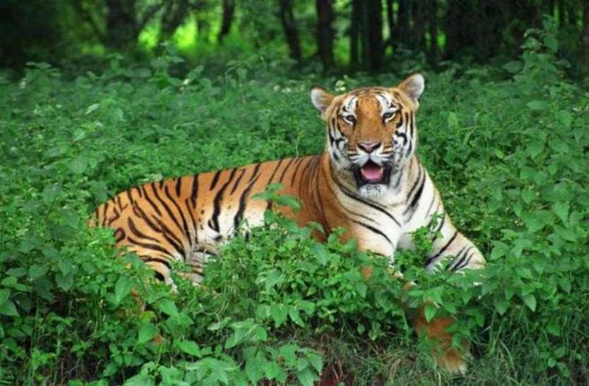 ओडिशा: WSO का दावा, 12 वर्षों में सिमिलिपाल टाइगर रिजर्व से 75 बाघ गायब