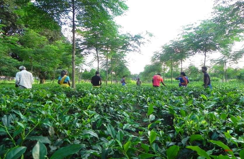छत्तीसगढ़ में भी शुरू हुई अब चाय की खेती, इन महिलाओं ने उठाया बीड़ा