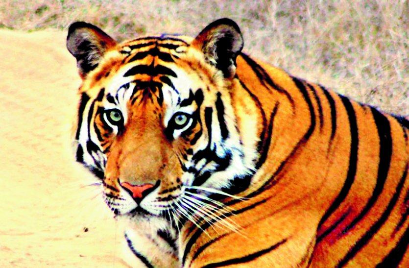 मध्यप्रदेश के टाइगर रिजर्व क्षेत्र में ज्यादा नहीं जा सकेंगे पर्यटक