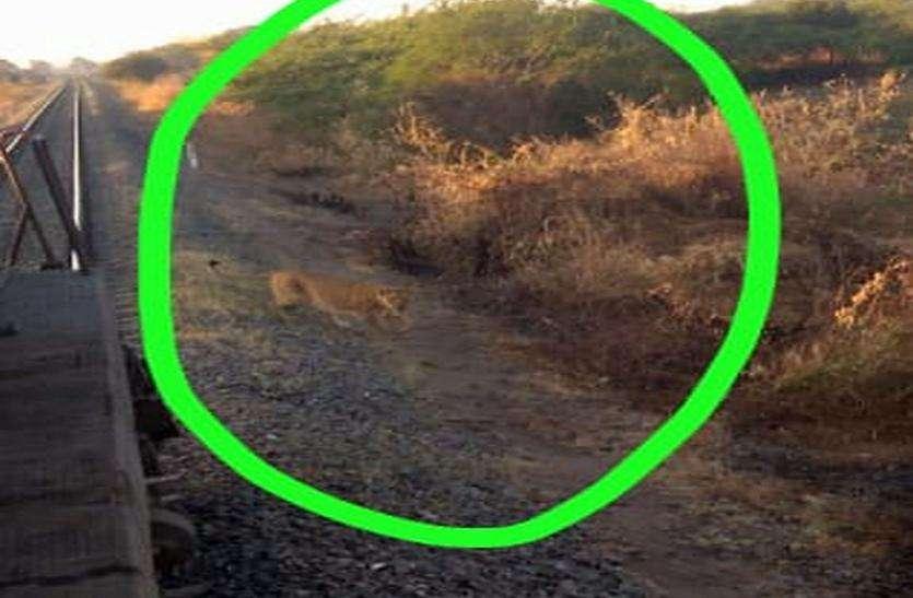 शेर के पटरी पार करने का इंतजार किया लोको पायलट ने