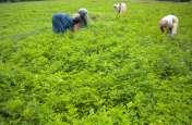 हर्बल खेती के लिए आदिवासियों जमीन देगी सरकार, उत्पाद खरीदने की होगी गारंटी
