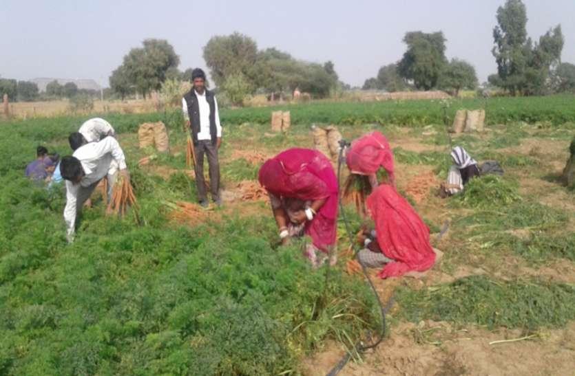 गाजर के भाव औंधे मुंह गिरने से किसानों को रूलाया, खेत खाली करना हो रही है मजबूरी