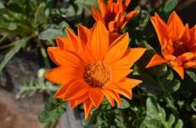 video गर्मी में भी नहीं मुरझाते ये खूबसूरत फूल, घर में बनाए रखते हैं खुशी का माहौल
