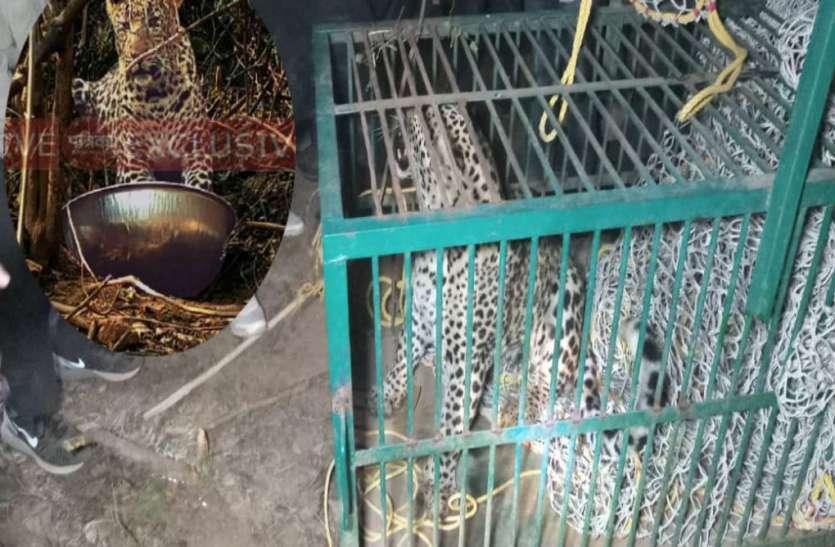 आठ घंटे की मशक्कत के बाद पकड़ा गया तेंदुआ, लोगों ने ली राहत की सांस