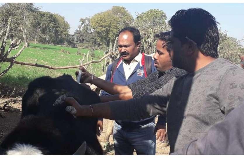 पशुओं में खुरपका-मुंहपका रोग को लेकर दूसरे दिन भी कई पशुओं का हुआ उपचार...