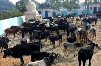 पत्रिका स्पेशल: 80 गोवंश की मौत के बाद भी मदद के नाम पर ऊंट के मुंह में जीरा, तड़प रही गोमाता