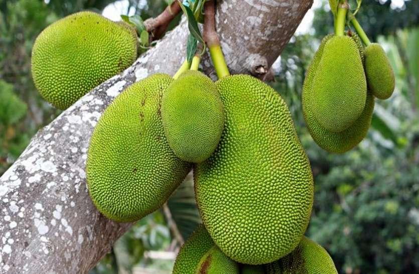 know the benefits of jackfruit, it is useful in pregnancy - Dus Ka