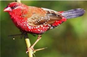 VIDEO : उदयपुर में दिखी वह शर्मीली चिड़िया जो अक्सर बहुत कम नजर आती है, जानिए इस पक्षी के बारे में...