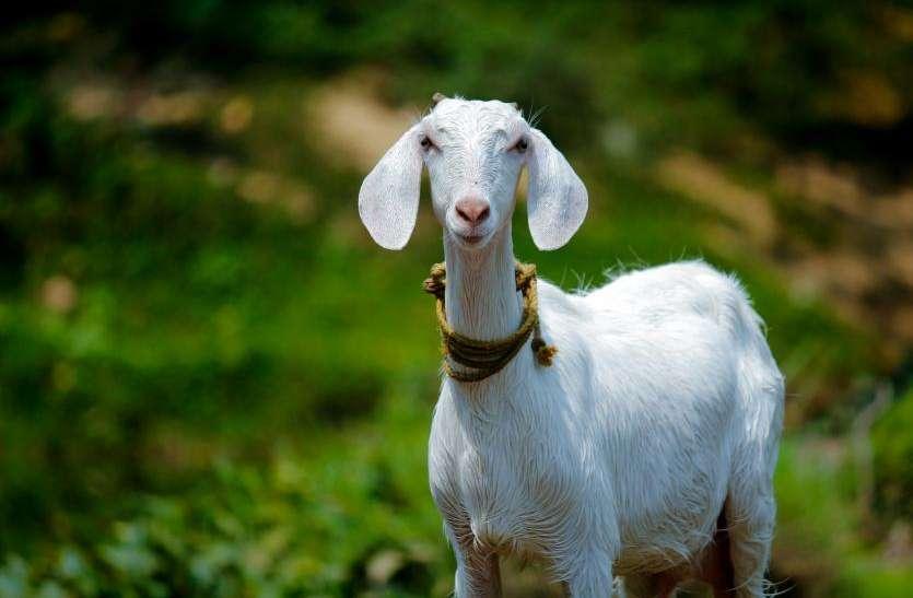 बकरी का रेप करते हुए पकड़ा गया शख्स, कहा- परमिशन ली थी