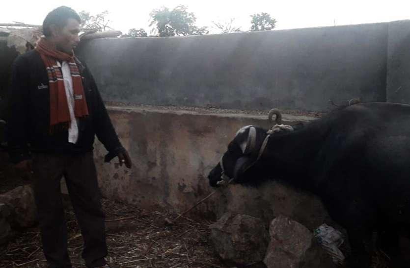 पशुओं में खुरपका-मुंहपका रोग को लेकर पशुओं के स्वास्थ्य में हुआ सुधार