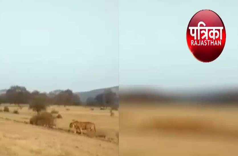 रणथंभौर के बाघों में वर्चस्व का दबाव