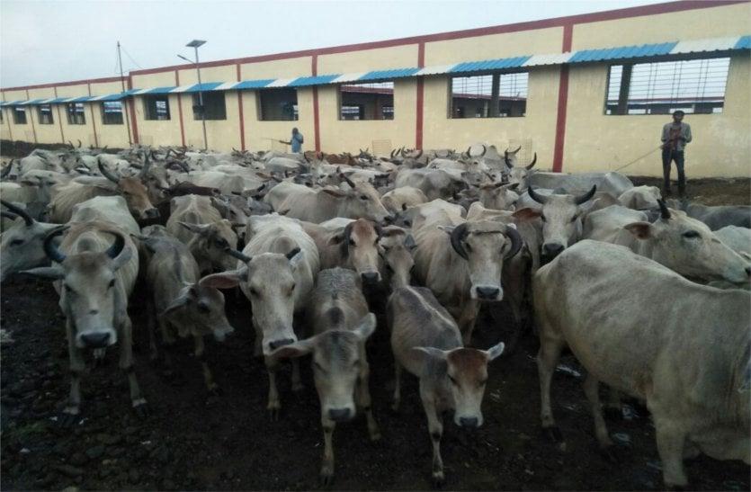 500 से अधिक गायों की मौतों का लेंगे हिसाब