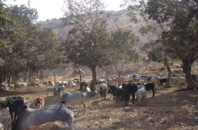 भटकती गायों को मिला सहारा!