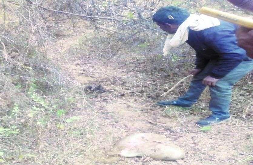 बाघ ने खेतों में चर रही तीन बकरियों का किया शिकार