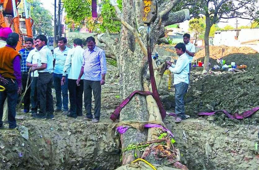 ये है 90 साल पुराना, 55 फुट ऊंचा पीपल का पेड़, जिसे दो क्रेनों से 20 फूट किया री-प्लांट
