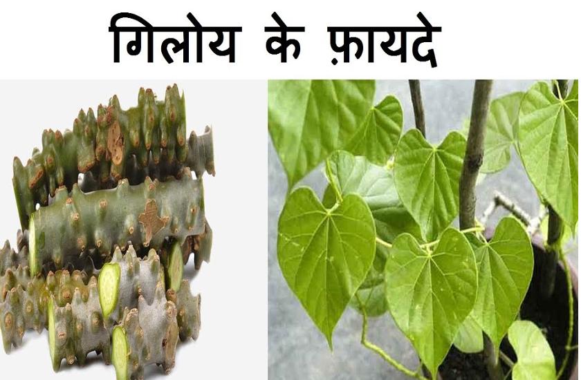 giloy plant