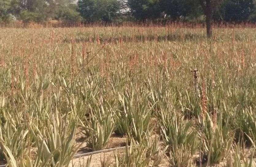 यहां किसान धोरों में उगा रहे एलोवेरा