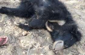 नंदनवन में भालू की अचानक हुई रहस्यमयी मौत, प्रबंधन बता रहा सामान्य