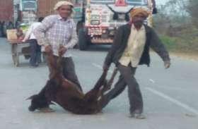 बेसहारा गोवंश पर फूटा किसानों का गुस्सा, स्वास्थ्य उपकेंद्र में बंद कर बेरहमी से पीटा फिर सड़क पर घसीटा