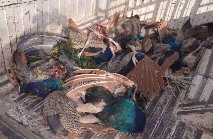 एक नहीं, तेरह राष्ट्रीय पक्षियों को शिकारियों ने मार डाला