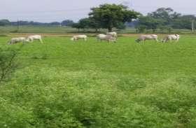अन्ना मवेशियों के भी अन्नदाता बन रहे किसान, गोशाला बनाकर खुद कर रहे संचालित