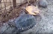 एसटीएफ व वन विभाग की टीम ने की छापेमारी, दुर्लभ प्रजाति के कछुए बरामद, 4 तस्कर गिरफ्तार