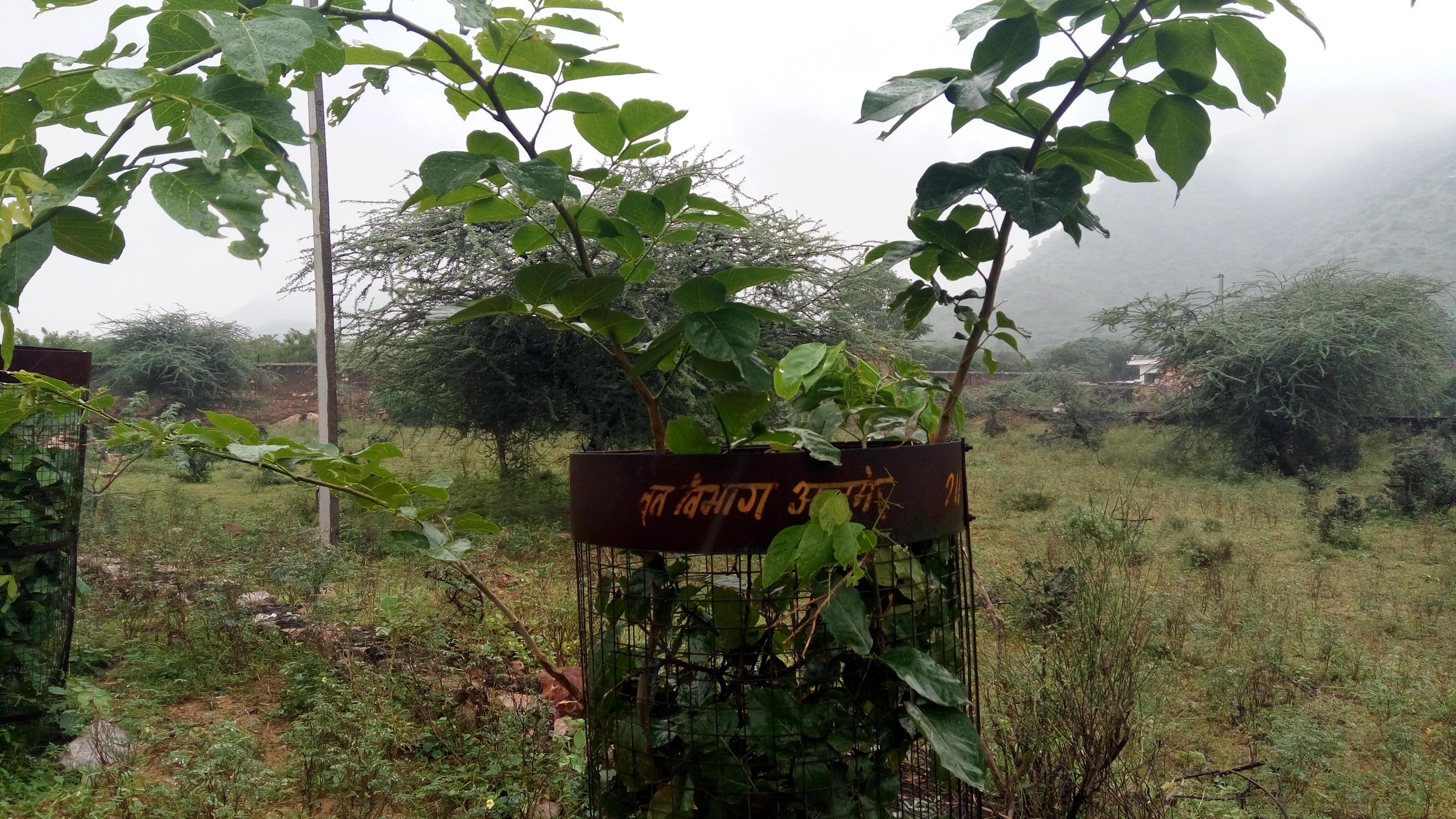 अजमेर में भले ही बढ़ा हो वन क्षेत्र, लाखों पौधे तो हो चुके हैं खराब