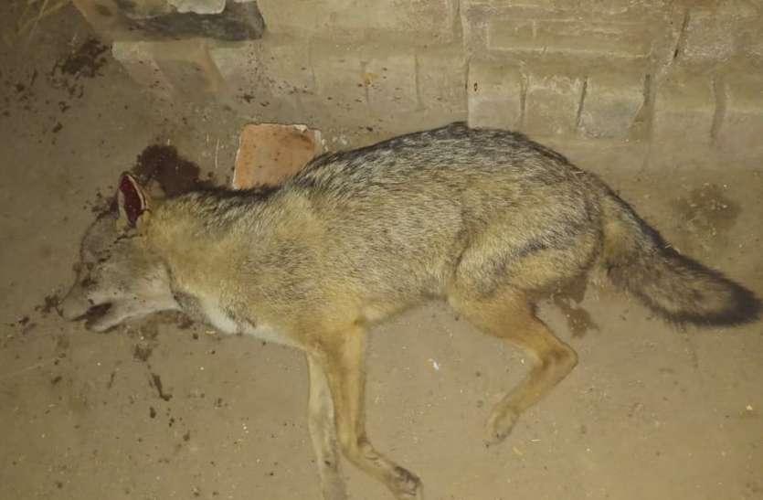 जंगल से निकले सियार ने भीषण ठंड में दिलाया गर्मी का एहसास, अलाव ताप रहे ग्रामीणों पर किया हमला तो कुत्तों ने उसे उतारा मौत के घाट
