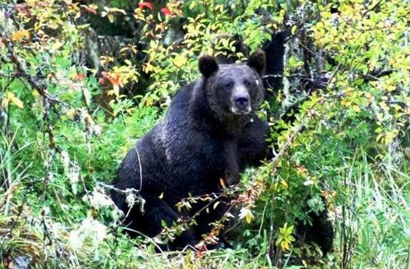 जंगल में बांस लेने गए युवक पर रीछ ने किया हमला, पेड़ पर चढ़कर बचाई जान