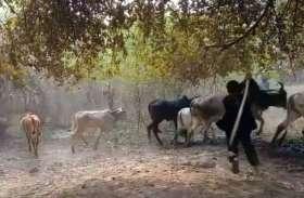 वीडियो: गौवंश पर टूटा ग्रामीणों का कहर, लाठी—डंडों से पीटे मवेशी, देखोगे तो आप भी रह जाओगे हैरान