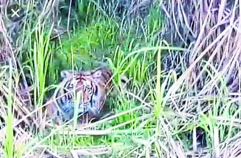 बाघ का ऐसा आतंक, घरों में कैद रहे ग्रामीण, दिनभर मचान पर बैठ रहे वनकर्मी