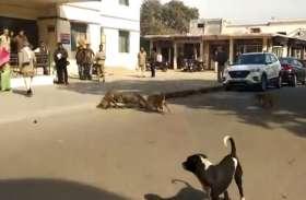 बंदरों की लड़ाई में कुत्ता कैसे दुम दबाकर भागा देखें वीडियो