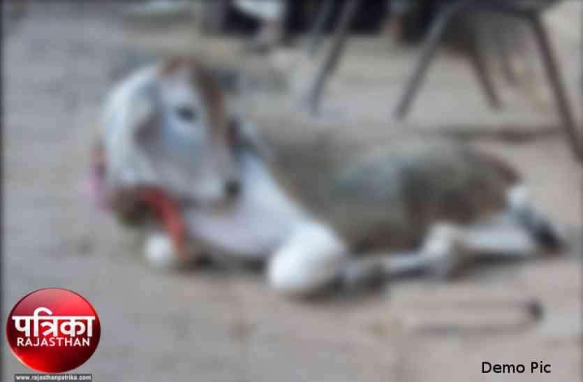 जयपुर में गौकशी के मामले में 3 गिरफ्तार