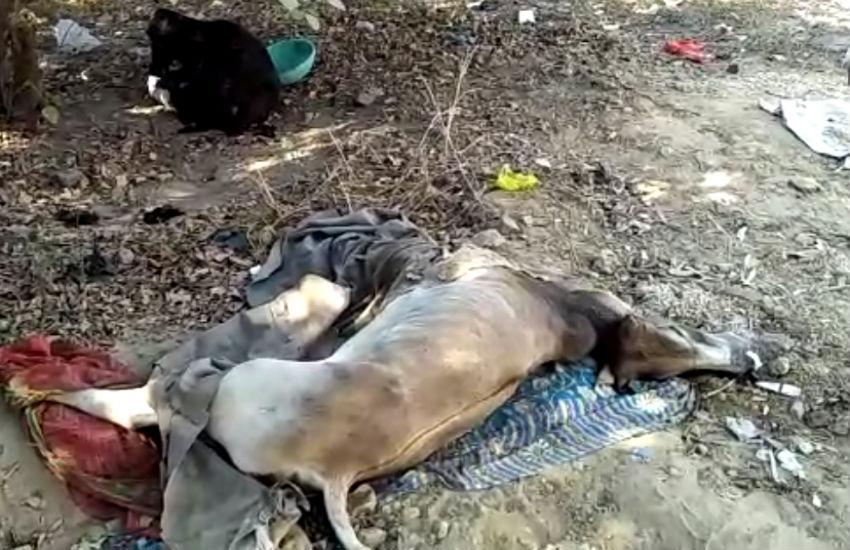 कैबिनेट मंत्री के क्षेत्र में गायों की दुर्दशा देखेंगे तो आपकी आंखों से भी निकल आएंगे आंसू, देखें वीडियो