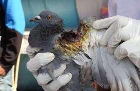 PICS : पतंग की कातिल डोर ने ली 8 पक्षियों की जान