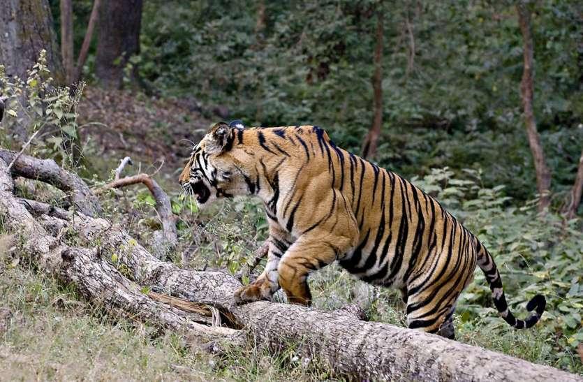 VIDEO: खेतों में रुका बाघ, केशवरायपाटन- रणथम्भौर की टीम को मिले पगमार्क