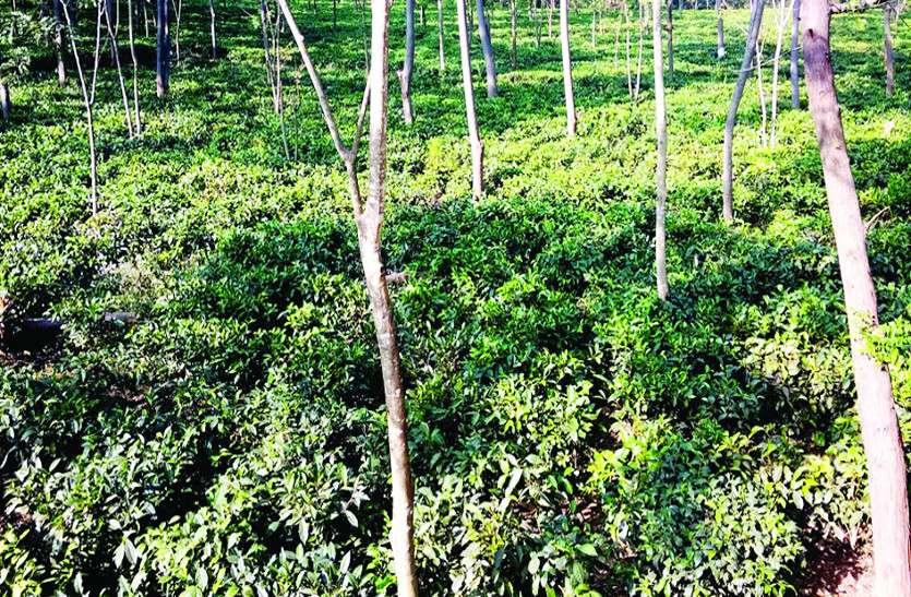 बेहतरीन परिणाम आने से उत्साहित वन विभाग करेगा चाय बगान का विस्तार