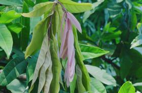 Gharelu nuskhe - कई रोगों को दूर करता है अशोक का पेड़