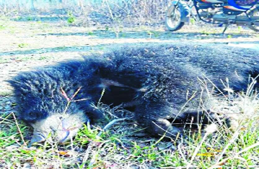 कुएं में गिरने से हुई भालू की मौत, सूचना मिलने के बाद भी समय पर नहीं पंहुचा वन अमला