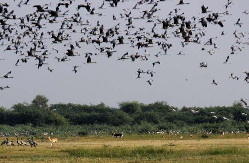 प्रवासी पक्षी रफ व कुरजां ने जोधपुर में बनाया ठिकाना, देखें तस्वीरें....
