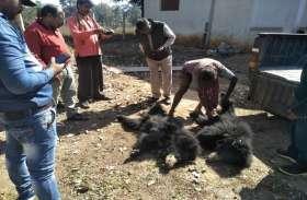 करंट की चपेट में आने से 2 भालुओं की मौत, इस हालत में मिली लाश, देखिए वीडियो