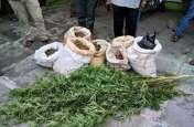 जेल से छूटते ही बेचने लगा नशे का सामान, पुलिस ने दी दबिश तो खेत से बरामद हुआ इतना गांजा