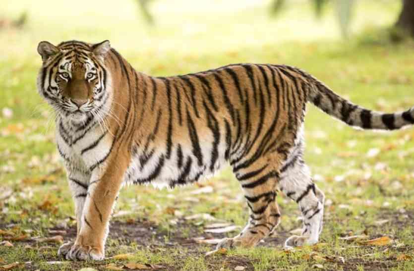 Tiger Special : रणथम्भौर में 70 टाइगर्स के बीच वर्चस्व की लड़ाई, अब चम्बल की वादियों में सल्तनत की तलाश