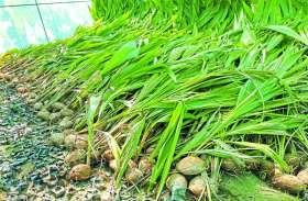 नारियल की खेती का प्रशिक्षण देने से पहले हुई पौधों की आपूर्ति, किसान बोले- सरकार बदली तो आई याद