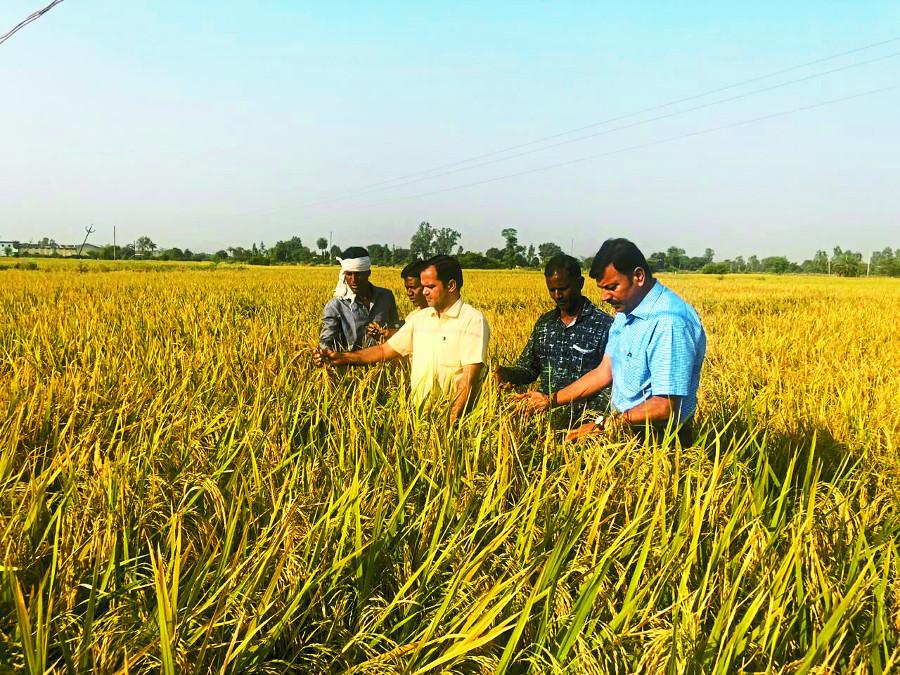 दिल्ली रिसर्च सेंटर के बीज से ४ एकड़ में हुआ १०० क्विंटल धान का उत्पादन