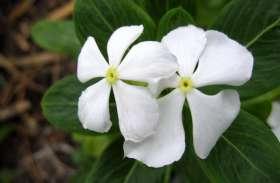 मामूली-सा सदाबहार का फूल दिलाएगा डायबिटीज से छुटकारा, ऐसे करें इस्तेमाल