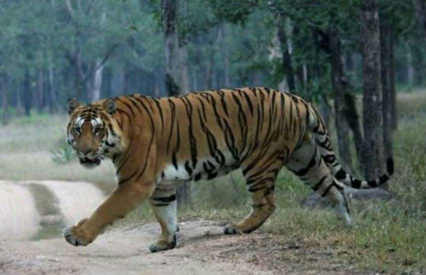 MP जल्द ही बनेगा टाइगर स्टेट, यहां मिले सबसे ज्यादा बाघ