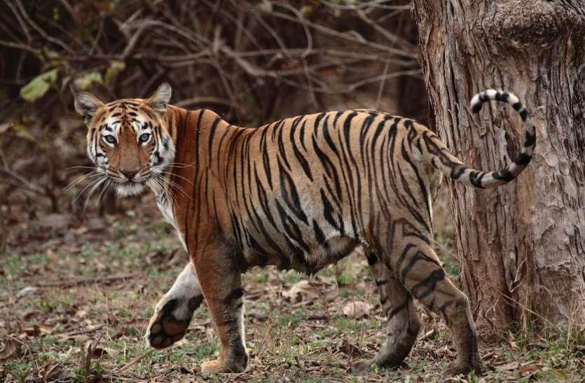 कूनो एशियाटिक शेर के लिए तैयार, शेर भेजने की स्वीकृति देन सीएम ने लिखा पीएम को पत्र